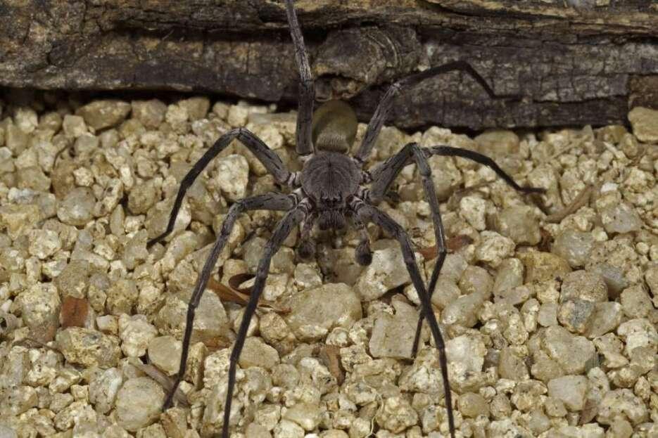 Araña nueva especie