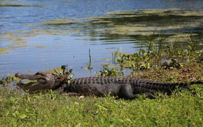Brazos Bend, un parque que reune las especies más salvajes de Texas