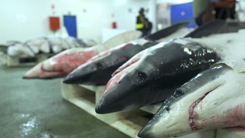 Cazando al depredador: la pesca de tiburones en Europa