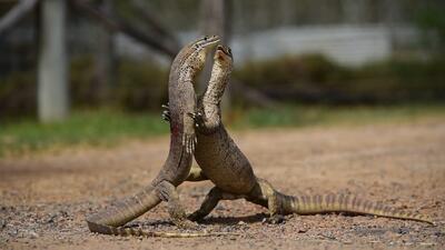 Captan la impresionante pelea de dos lagartos australianos a tan solo unas pulgadas de distancia