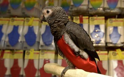 Los pájaros, al igual que los perros, son mascotas que se parecen a sus...