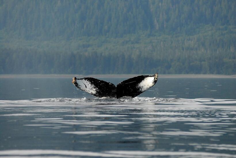 Identificación de una ballena jorobada por medio de las marcas de su col...