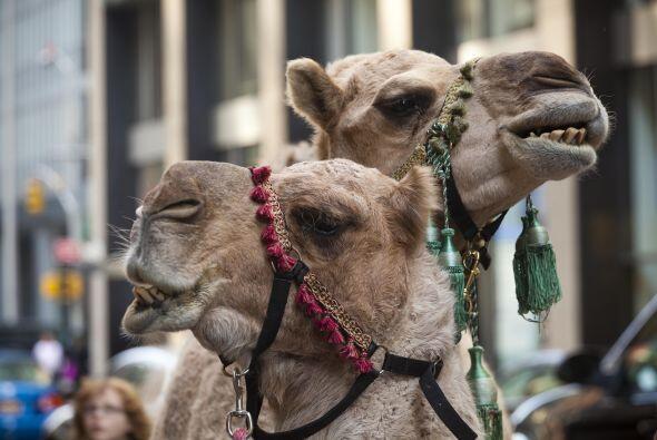 ¿Sabías que está prohibido cazar camellos en Arizona? Además de estas in...