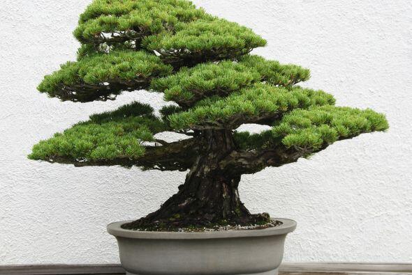 Las plantas de hoja perenne, como el pino y la azalea, son buenas altern...
