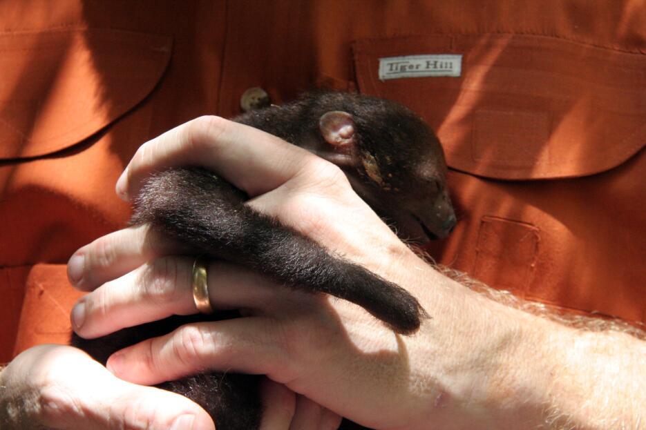 ¡Conoce al nuevo miembro de la familia de Jungle Island! Baby sloth - Cr...