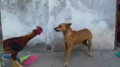 Gallo vs perro: puede que te sorprenda quién es el ganador de esta batalla