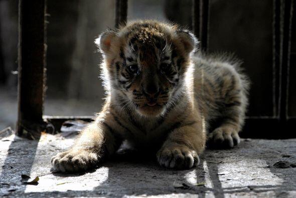 Las garras del tigre (que suelen medir alrededor de 7.5 cm de largo).