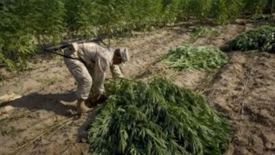 Plantíos de marihuana.