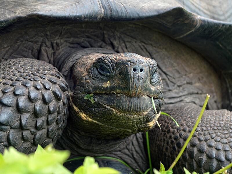 La Chelonoidis donfaustoi es una tortuga de las Islas Galápagos de la qu...