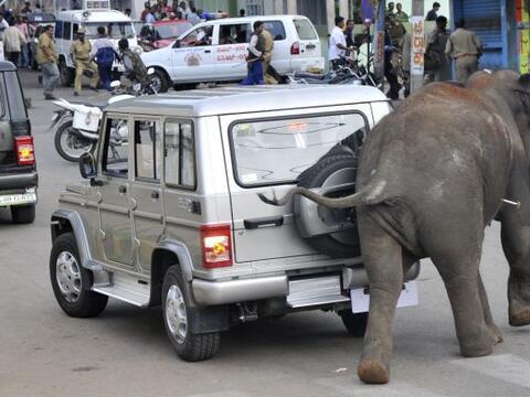 Un elefante enloquecido embistió y mató el miércole...