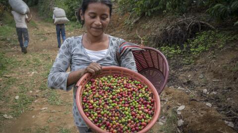 Los granjeros de café recogen frijoles en Chiapas, México