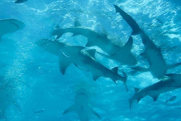 Los tiburones tienen una anatomía muy particular y han sido punto de int...