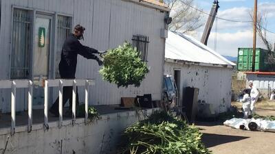 Un investigador lanza plantas de marihuana hacia afuera de una de las ca...